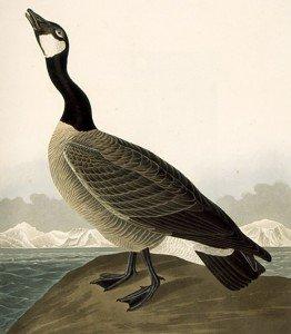 Audubon-CanadaGoose-262x300