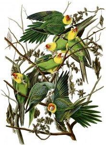 audubon-perruches-caroline-220x300