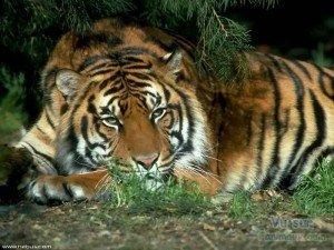 tigres-alanguis-2-300x225