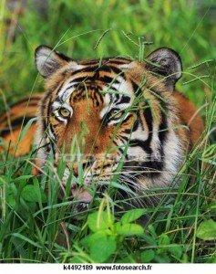 tigres-alanguis-3-237x300