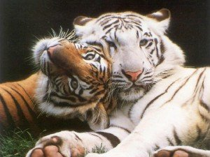tigres-alanguis-300x225